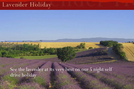 Lavender Holiday