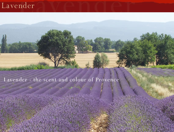 Real Provence - Lavender